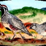 quail family peeps desert southwest chick